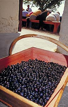 Les vendanges de Mounissens